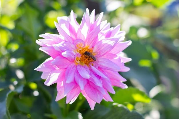 Fleur violet clair avec gros plan d'abeille, abeille pollinise la fleur lumineuse.