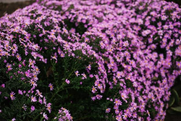 Une fleur violette lumineuse sur un parterre de fleurs. pétales de rose. un gros plan de petits chrysanthèmes.