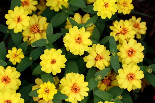 Fleur de zinnia au printemps
