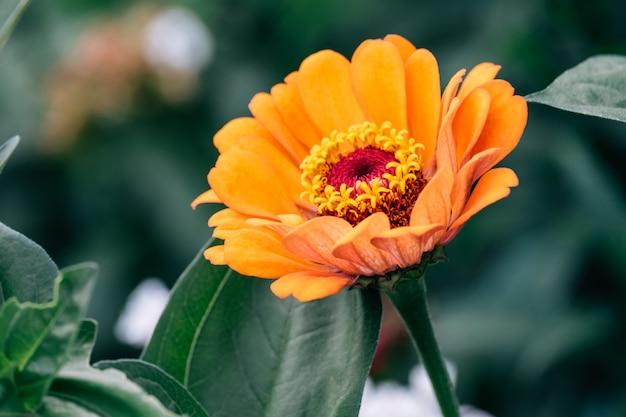 Fleur de zinnia elegans (zinnia commun ou zinnia élégant)
