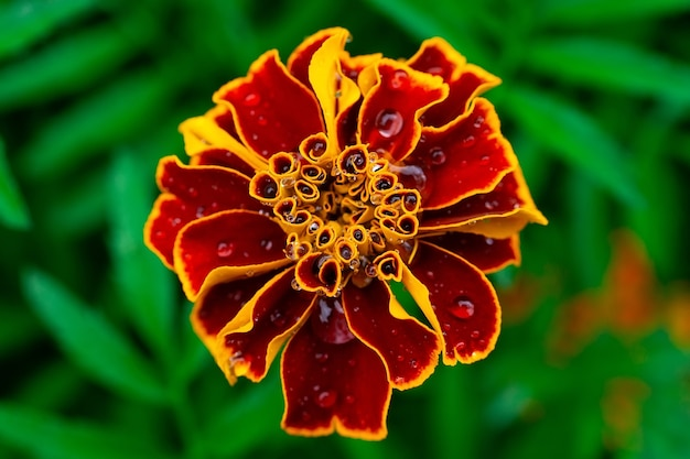 Fleur de zinnia avec des gouttes de pluie