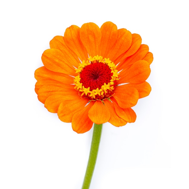 Fleur de zinnia orange sur fond blanc.