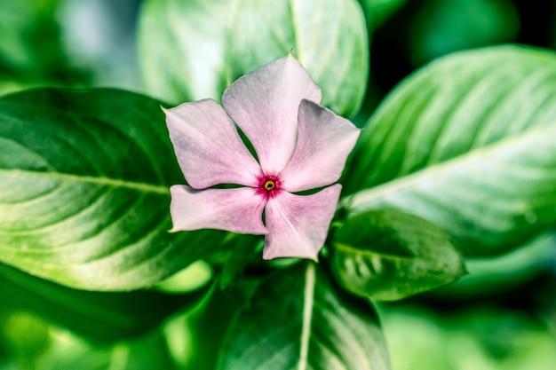 Fleur de zinnia qui fleurit dans le jardin
