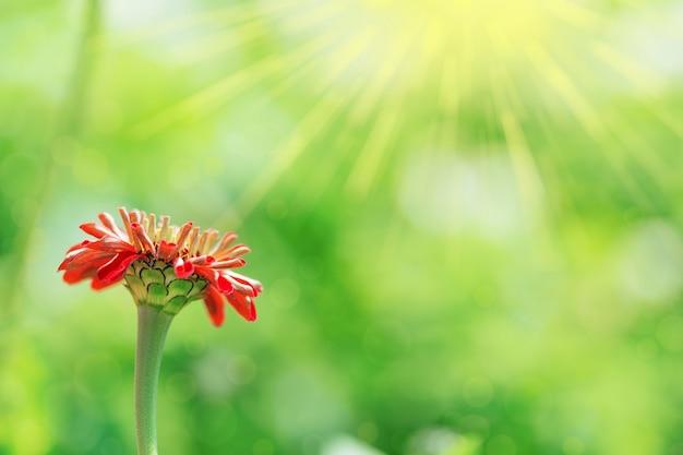 Une fleur zinnia se développe sous les rayons du soleil.