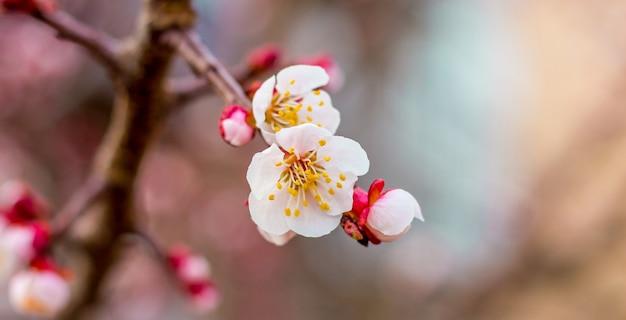Fleurs d'abricot se bouchent sur un arrière-plan flou