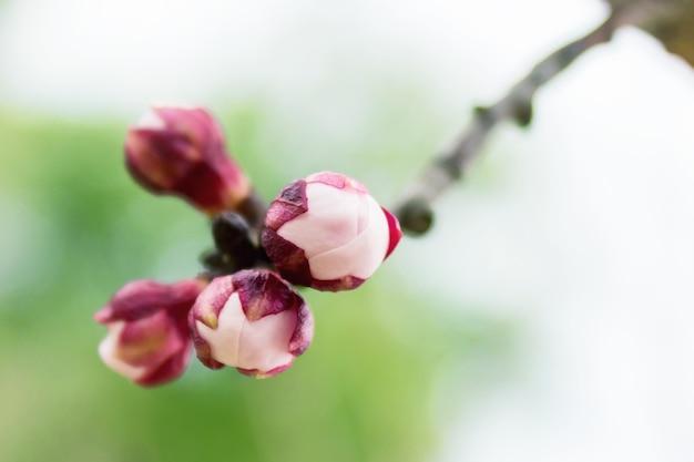 Fleurs d'abricotier se bouchent. arrière-plan flou avec des branches. en attendant le printemps. mise au point sélective.