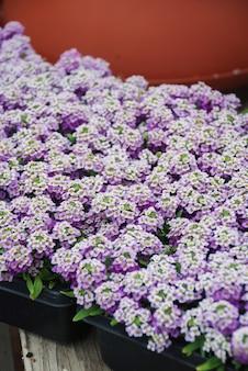 Fleurs d'alyssum. alyssum aux couleurs douces. alyssum dans un bac noir sur table en bois