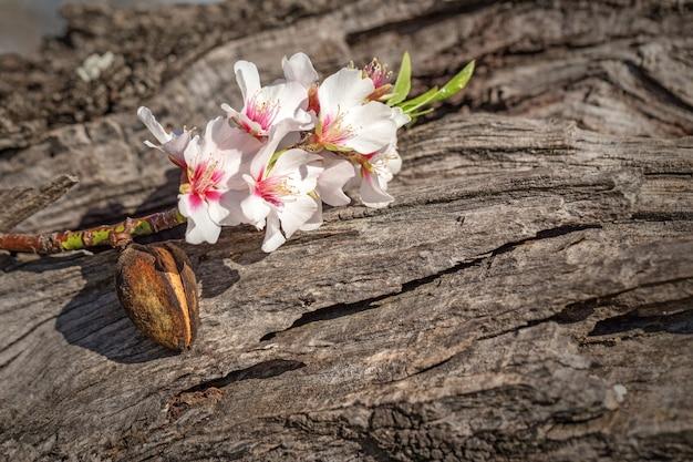 Fleurs d'amande portugaises pendant la floraison. alentejo.