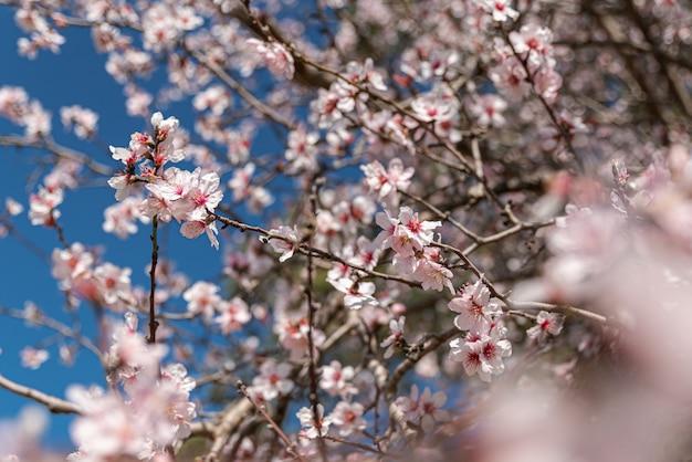 Fleurs d'amandes fraîches sur fond de ciel bleu