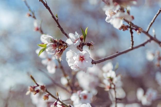 Fleurs d'amandes