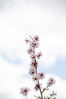 Fleurs d'amandier sur ciel bleu avec des nuages