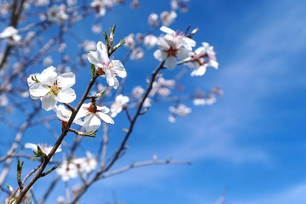 Fleurs d'amandier en fleurs au début du printemps.