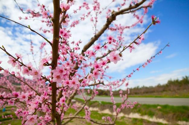 Fleurs d'amandier printanières dans la sierra de espadan, castellon