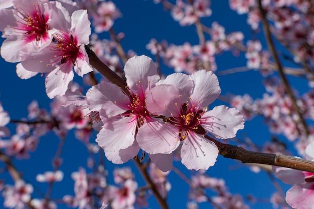 Fleurs d'amandier (prunus dulcis), en fleurs