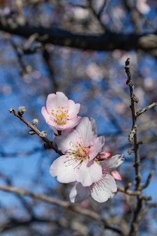 Fleurs d'amandier, (prunus dulcis), en fleurs