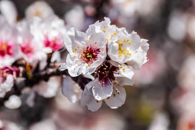 Fleurs d'amandier prunus dulcis en fleurs