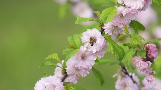 Fleurs d'amandier rose se bouchent. l'abeille récolte le pollen des fleurs roses. fleurs d'amandier par une chaude journée de printemps. arrière-plan flou, 4k uhd.