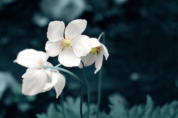 Fleurs d'anémone blanche en mise au point sélective sur une surface bleue