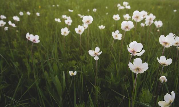 Fleurs d'anémone sauvage dans le domaine.