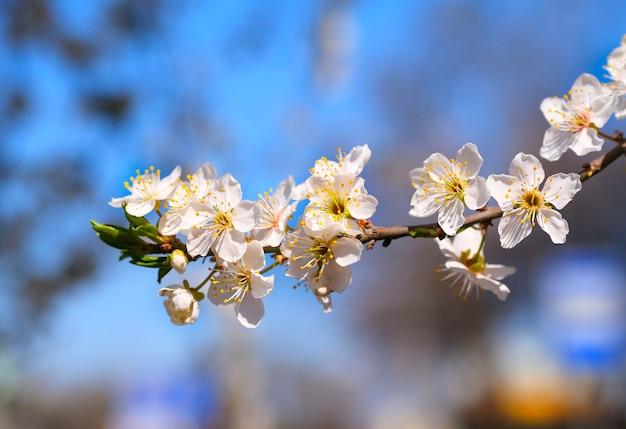 Fleurs d'arbre blanc au printemps. fleurs de cerisier. fermer. mise au point sélective.