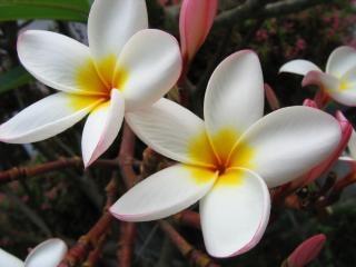 Fleurs de l'arbre plumeria