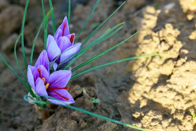 Fleurs aromatiques de plus en plus de safran pour la récolte d'épices.