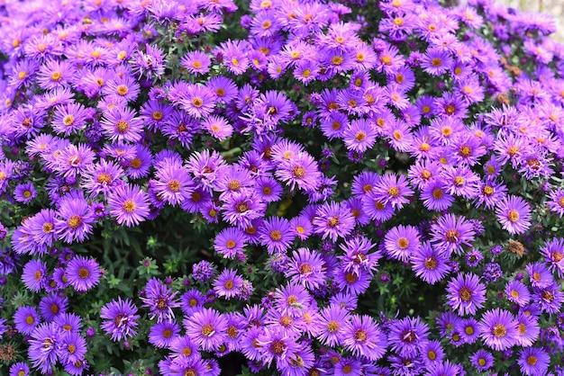 Fleurs d'aster japonais ou kalimeris incisa