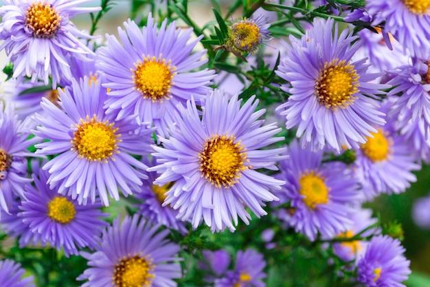 Fleurs d'asters dans le jardin