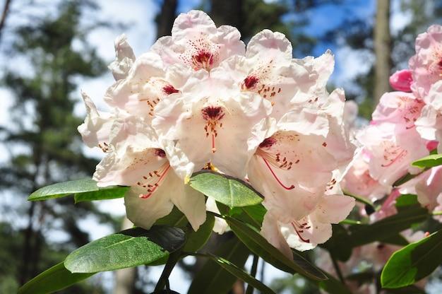 Fleurs d'azalée blanche rose en pleine floraison avec des feuilles vertes sur le buisson. jardin tropical au printemps. floraison des rhododendrons en avril, mai.