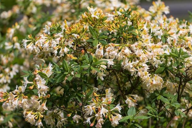 Fleurs d'azalée. naine belle plante à fleurs. photo de haute qualité