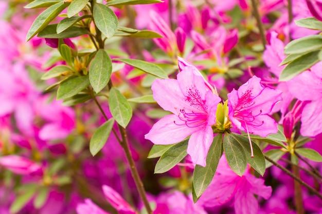 Fleurs azalées en fleurs, fleurs roses et violettes au printemps, beauté de la nature dans le jardin.