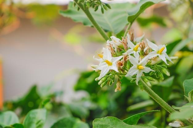 Fleurs blanches de baies de dinde