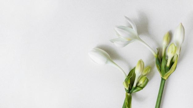 Fleurs blanches avec des bourgeons sur fond uni