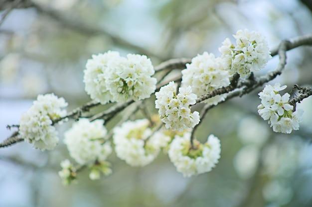 Fleurs blanches cerises. printemps des rameaux en fleurs