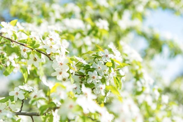 Fleurs blanches sur un cerisier en fleurs avec un fond doux de feuilles de printemps vertes et de ciel bleu