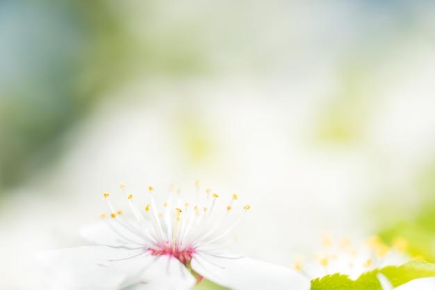 Fleurs blanches sur un cerisier en fleurs avec un fond doux de feuilles de printemps vertes. prise de vue macro