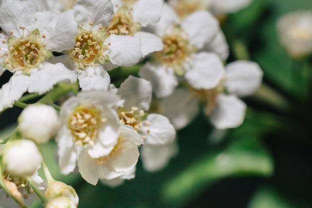 Fleurs blanches de cerisier des oiseaux. macro gros plan. fond feuillage vert en arrière-plan.