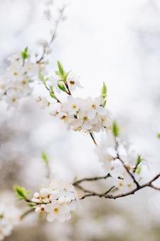 Fleurs blanches des cerisiers en fleurs un jour de printemps, gros plan