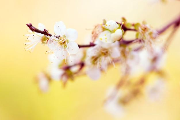 Fleurs blanches des cerisiers