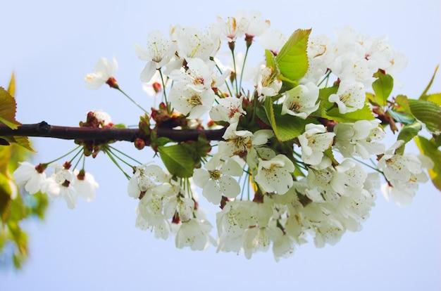 Fleurs blanches dans une branche d'arbre