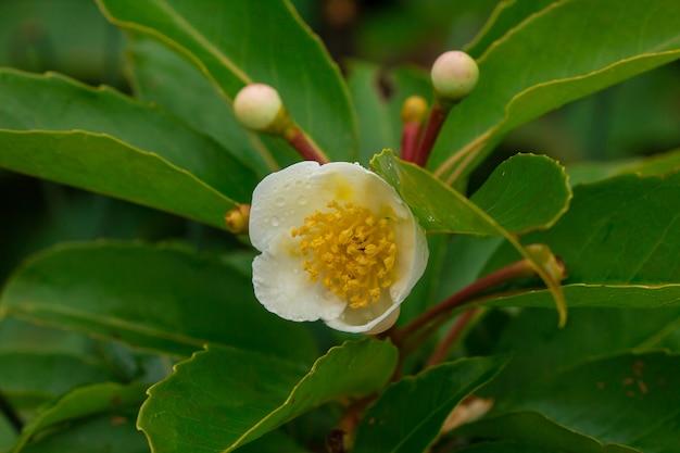 Fleurs blanches dans la forêt floraison à la saison des pluies