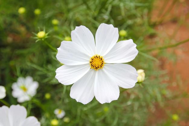 Fleurs blanches dans le jardin.