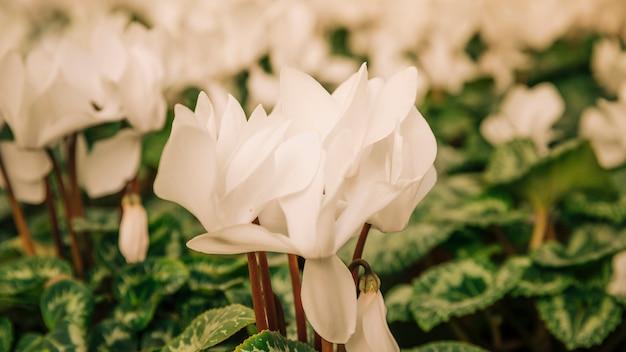 Fleurs blanches exotiques dans le jardin