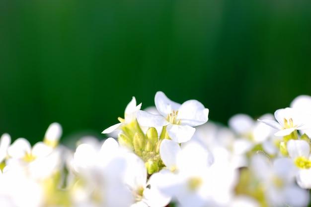 Fleurs blanches en fond vert