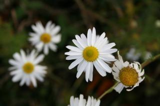 Fleurs blanches, jardin, jaune