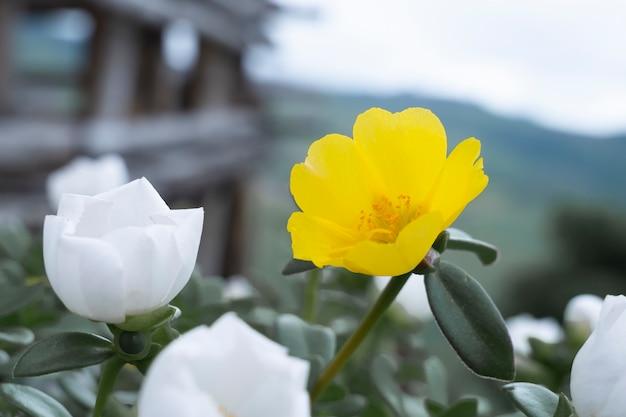 Fleurs blanches et jaunes plantées sur la colline