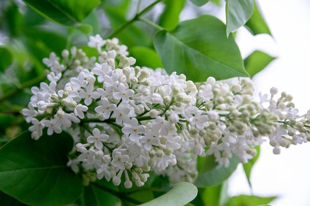 Fleurs blanches lilas de printemps