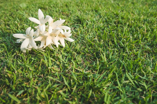 Fleurs blanches de millingtonia hortensis sur la pelouse.