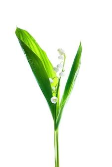 Fleurs blanches muguet isolé sur fond blanc