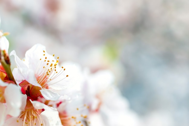 Fleurs blanches sur le prunier de printemps avec un arrière-plan flou bleu doux